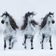 Three gray long-maned Spanish horses run gallop across snowy field. - PhotoDune Item for Sale