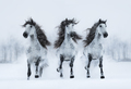 Three gray long-maned Spanish horses run gallop across snowy field. - PhotoDune Item for Sale