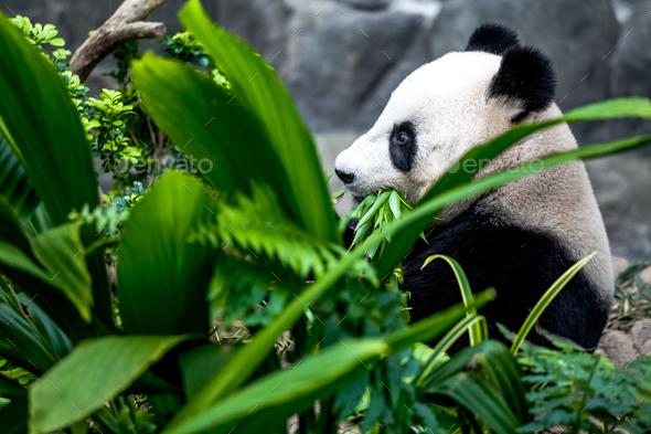 Giant panda - Stock Photo - Images