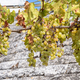 White vines with grapes - PhotoDune Item for Sale