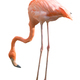 flamingo bird isolated - PhotoDune Item for Sale