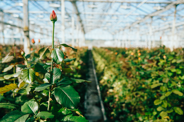 Greenhouse roses growing under daylight. - Stock Photo - Images