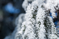 ice frost on pine leaves - PhotoDune Item for Sale