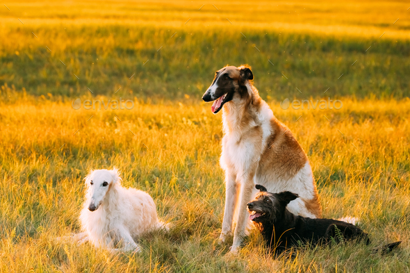 Black Mixed Breed Hunting Dog And Russian Greyhounds Borzois Bo Stock Photo By Grigory Bruev