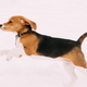 Beautiful Funny Puppy Of English Beagle Playing Fast Running In - PhotoDune Item for Sale