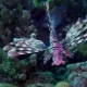 Lion Fish Diving in the Red Sea near Egypt - VideoHive Item for Sale