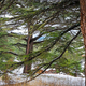 The Cedars of God - PhotoDune Item for Sale