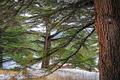 The Cedars of God - PhotoDune Item for Sale