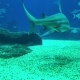 Underwater Life of a Coral Reef. Sharks, Rays and Other Fish. Large Aquarium - VideoHive Item for Sale
