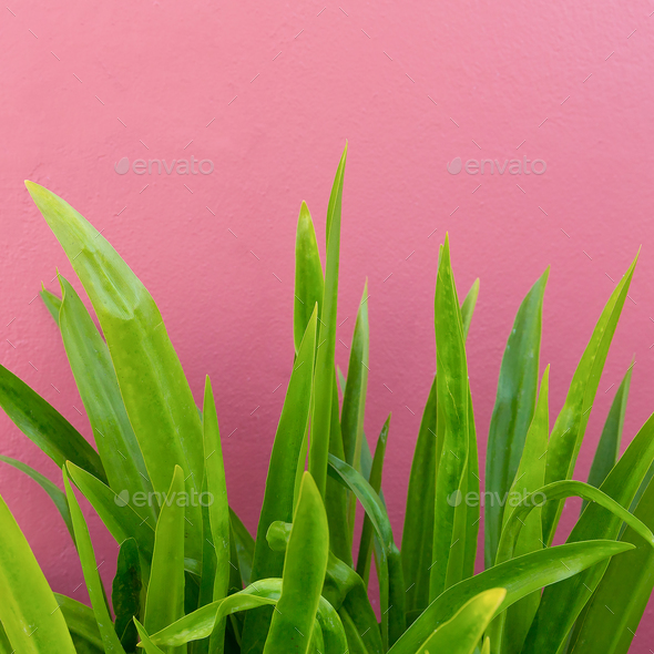 Plant on pink. Plant lovers. Minimal fashion design - Stock Photo - Images
