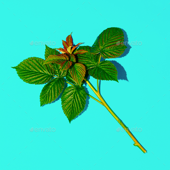 Sprig of Raspberry. Herbalife style. Minimal - Stock Photo - Images