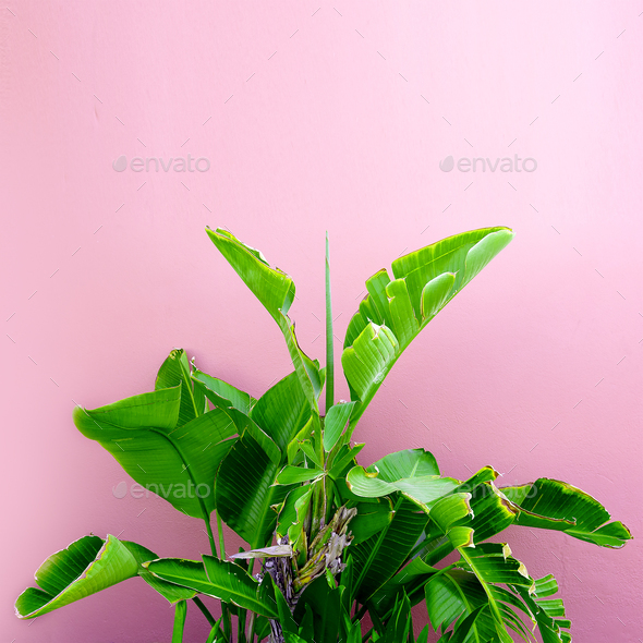 Tropical plant on a pink. minimal art design - Stock Photo - Images