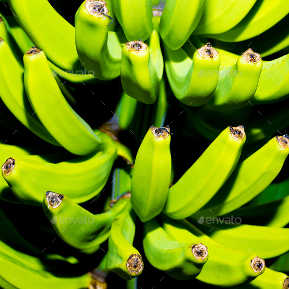 Green bananas on the tree. Minimal art - Stock Photo - Images