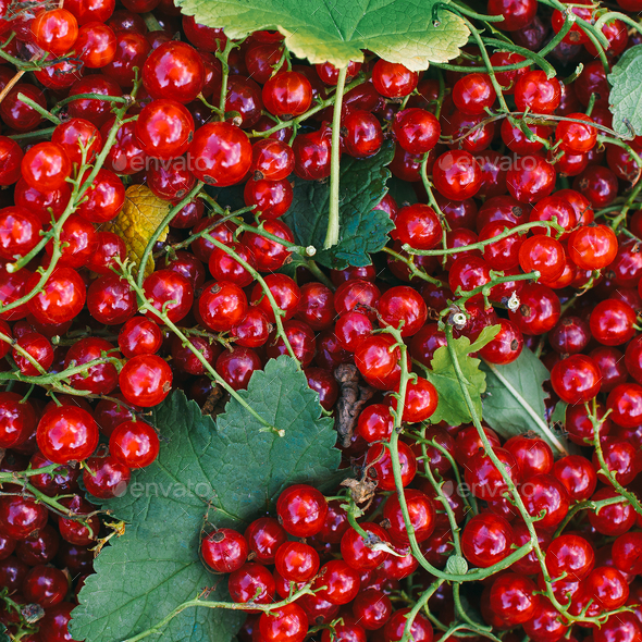 Red currant Fresh vitamins bio life style - Stock Photo - Images
