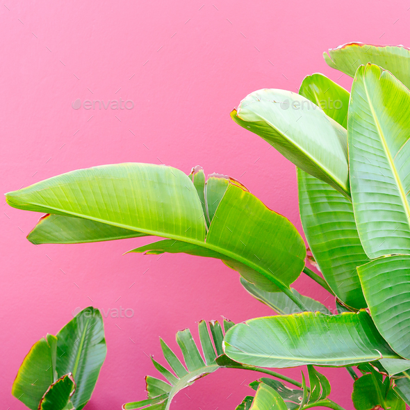 Tropical mood. Plant on pink. Minimal fashion art - Stock Photo - Images