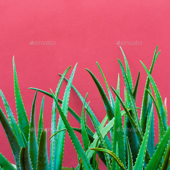 Plant on pink. Aloe Tropical Greens minimal art design - Stock Photo - Images