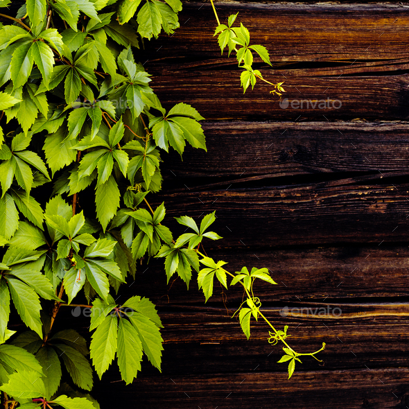 Rustic background. Wooden wall and plant. - Stock Photo - Images