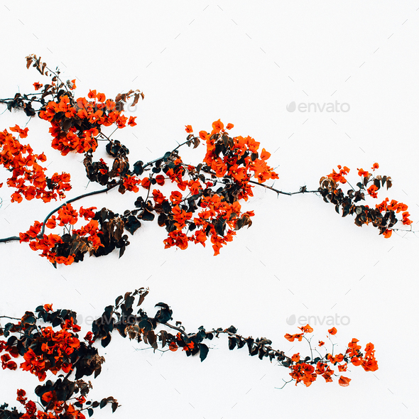 Red flowers on a white wall background minimal art - Stock Photo - Images