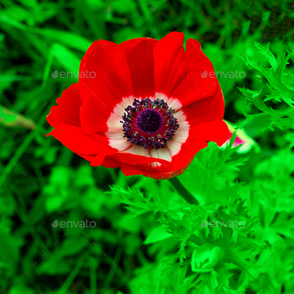 Poppy. Flower. Minimal style - Stock Photo - Images