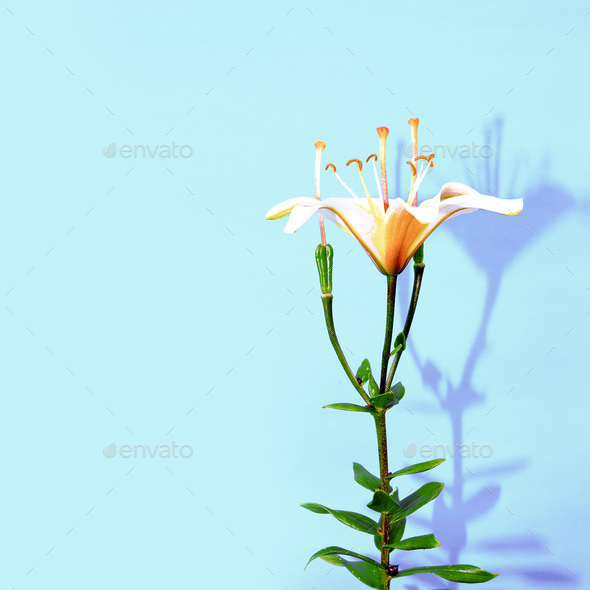 Lily Flower minimal design - Stock Photo - Images