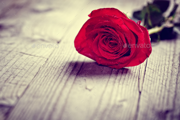 Red valentine rose - Stock Photo - Images