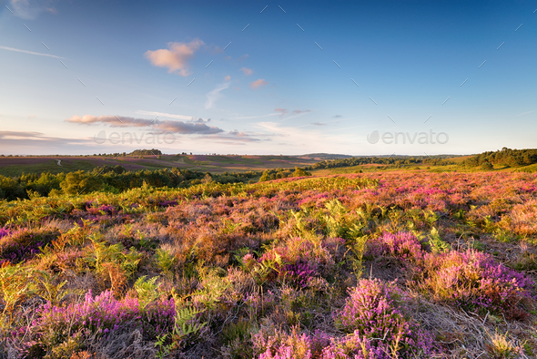 The New Forest in August - Stock Photo - Images