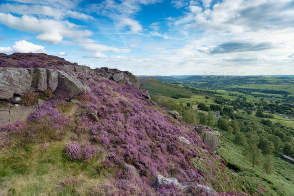 Heather at Curbar Edge - Stock Photo - Images