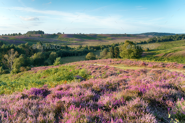 New Forest Heather - Stock Photo - Images