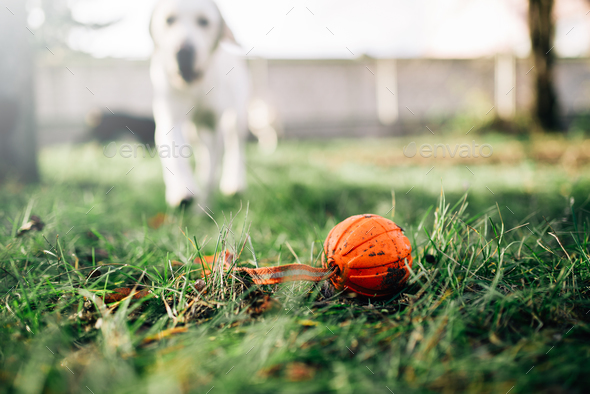 Watch dog finds a ball, training outdoor - Stock Photo - Images
