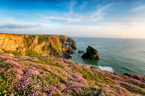 Thrift at Bedruthan in Cornwall - Stock Photo - Images