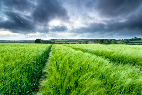 Barley Field - Stock Photo - Images