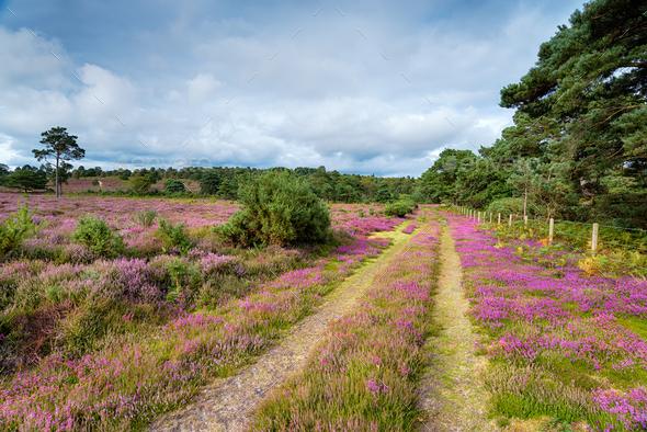 Dorset Heath - Stock Photo - Images