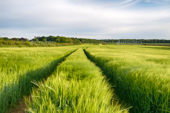 Cornish Barley Field - Stock Photo - Images