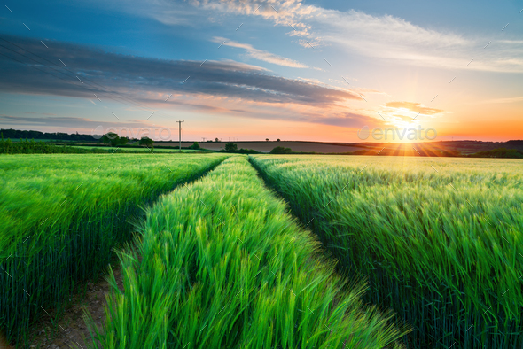 Barley Field in Cornwall - Stock Photo - Images