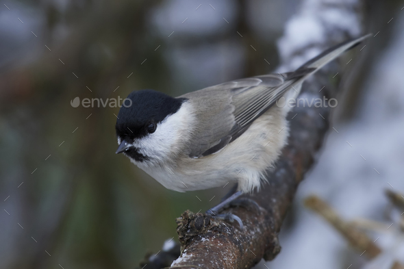 Marsh tit (Poecile palustris) - Stock Photo - Images