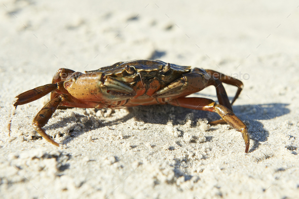 Shore Crab (Carcinus maenas) - Stock Photo - Images