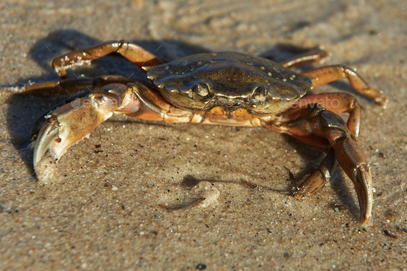 Shore Crab (Carcinus maenas) - Stock Photo - Images