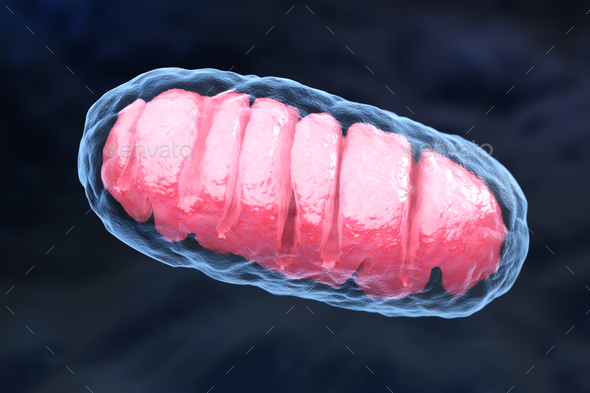 Mitochondrion - Stock Photo - Images