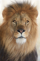 Lion (Panthera leo) - PhotoDune Item for Sale