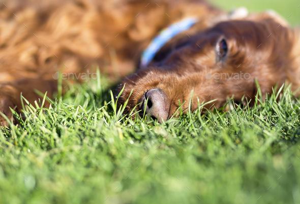 Sleepy dog - Stock Photo - Images