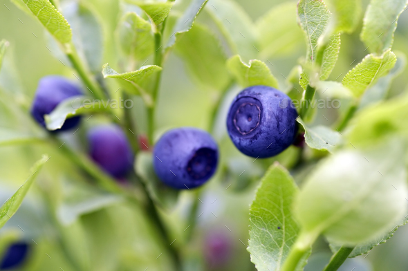 Blueberry shrubs - Stock Photo - Images