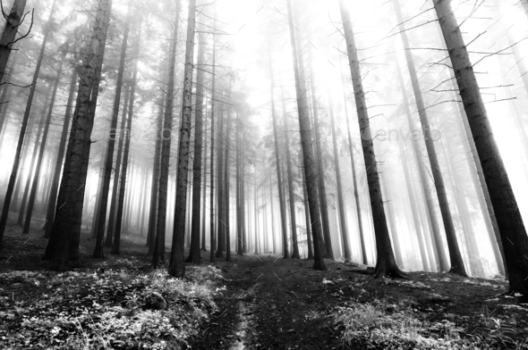 Coniferous forest in fog - Stock Photo - Images