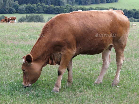 Young cow grazing on a meadow - Stock Photo - Images