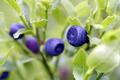 Blueberry shrubs - PhotoDune Item for Sale