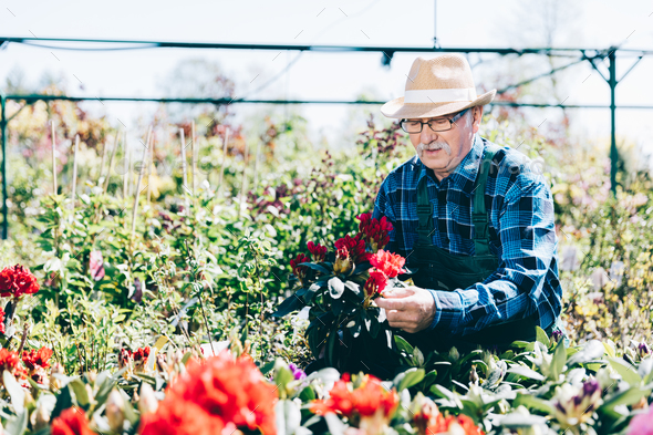 Senior gardener working in garden center. - Stock Photo - Images