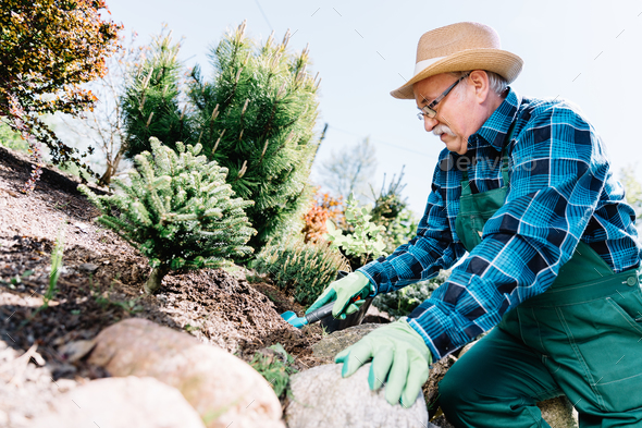 Senior man planting plants in a garden. - Stock Photo - Images