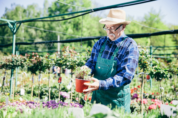 Older man working in a garden center. - Stock Photo - Images