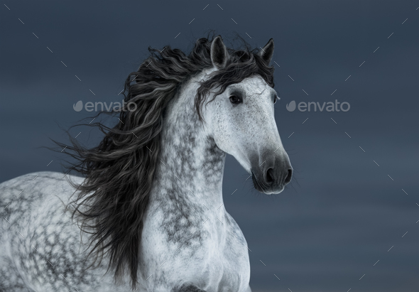 Gray long-maned Andalusian Horse - Stock Photo - Images