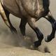 Black legs of running dun horse close up in sand dust. - PhotoDune Item for Sale
