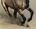 Black legs of running dun horse close up in sand dust. - PhotoDune Item for Sale
